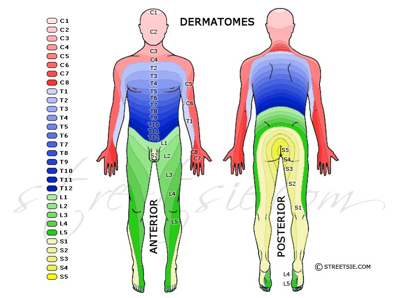 Dermatomes are regions of the skin